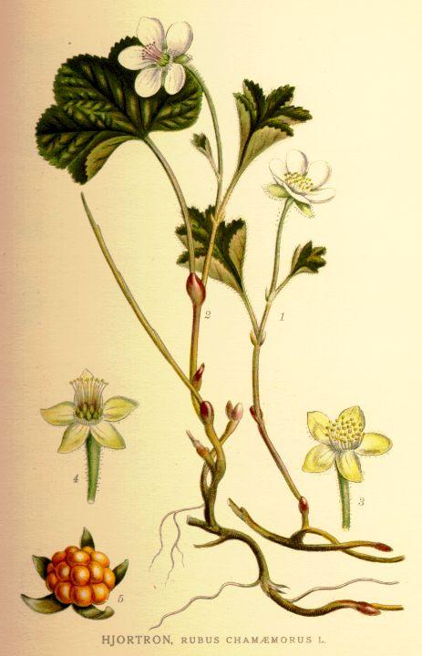 Hjortronplanta av ur Nordens Flora Runeberg
